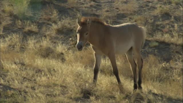 przewalski's horse walks across steppe, kalamaili nature reserve, xinjiang, china - przewalskihäst bildbanksvideor och videomaterial från bakom kulisserna