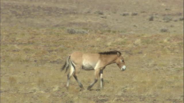 przewalski's horse walks over steppe, kalamaili nature reserve, xinjiang, china - przewalskihäst bildbanksvideor och videomaterial från bakom kulisserna