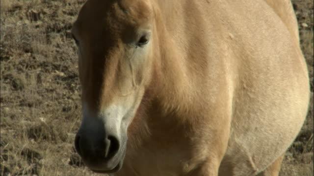 przewalski's horse with foal, kalamaili nature reserve, xinjiang, china - przewalski stock videos & royalty-free footage
