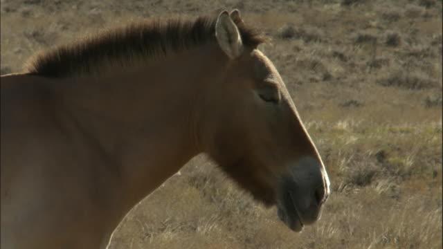 przewalski's horse with foal, kalamaili nature reserve, xinjiang, china - przewalskihäst bildbanksvideor och videomaterial från bakom kulisserna