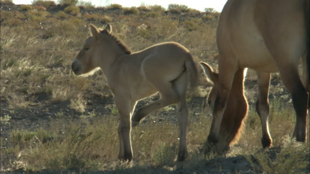 Przewalski's horse with foal, Kalamaili Nature Reserve, Xinjiang, China