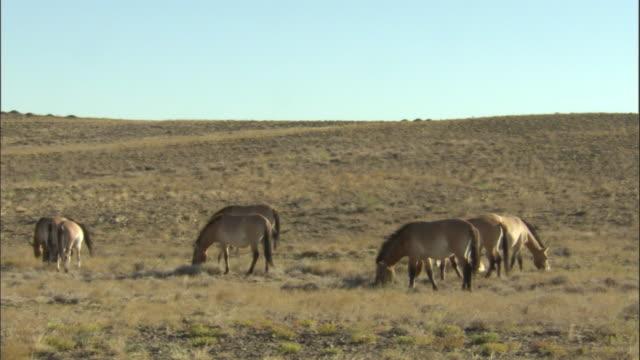 przewalski's horses and foal, kalamaili nature reserve, xinjiang, china - przewalskihäst bildbanksvideor och videomaterial från bakom kulisserna