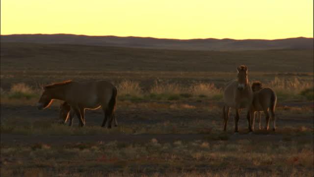 przewalski's horses at sunrise, kalamaili nature reserve, xinjiang, china - przewalskihäst bildbanksvideor och videomaterial från bakom kulisserna