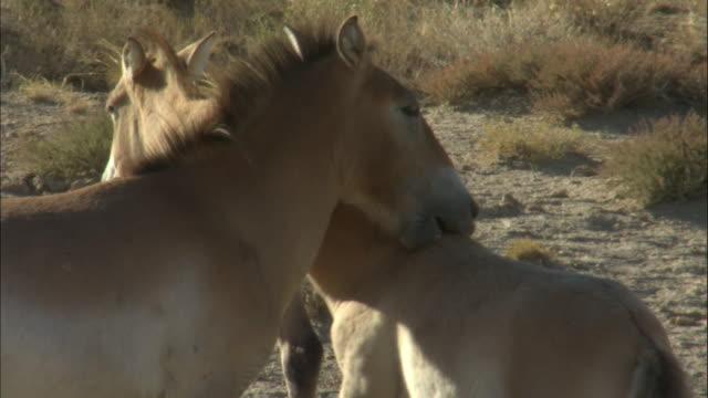 przewalski's horses courtship, kalamaili nature reserve, xinjiang, china - przewalski stock videos & royalty-free footage