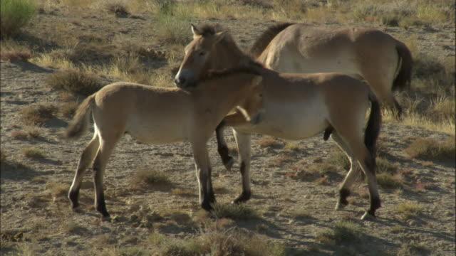 przewalski's horses courtship, kalamaili nature reserve, xinjiang, china - przewalskihäst bildbanksvideor och videomaterial från bakom kulisserna