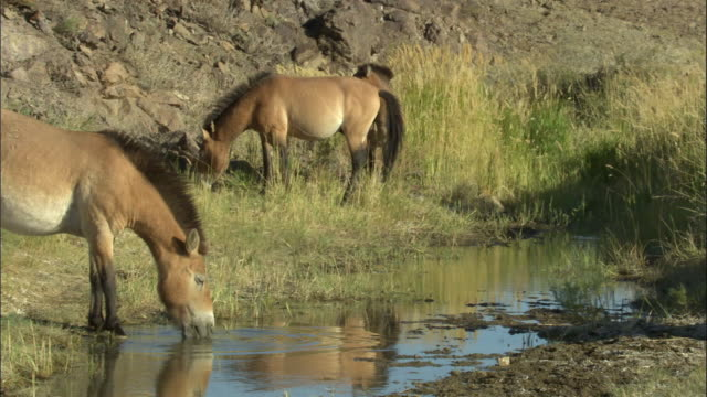 przewalski's horses drink from stream, kalamaili nature reserve, xinjiang, china - przewalski stock videos and b-roll footage
