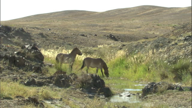 vidéos et rushes de przewalski's horses drink from stream, kalamaili nature reserve, xinjiang, china - plan d'eau