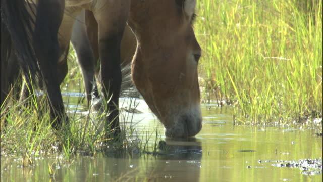 przewalski's horses drink from stream, kalamaili nature reserve, xinjiang, china - przewalskihäst bildbanksvideor och videomaterial från bakom kulisserna