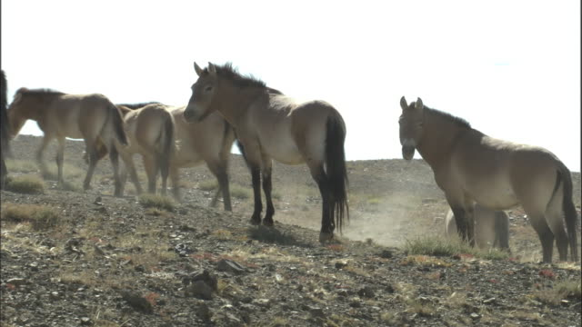 przewalski's horses drink from stream then walk away, kalamaili nature reserve, xinjiang, china - przewalskihäst bildbanksvideor och videomaterial från bakom kulisserna