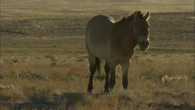 przewalski's horses graze, kalamaili nature reserve, xinjiang, china - przewalski stock videos & royalty-free footage