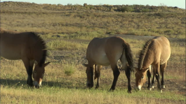 przewalski's horses graze, kalamaili nature reserve, xinjiang, china - przewalskihäst bildbanksvideor och videomaterial från bakom kulisserna