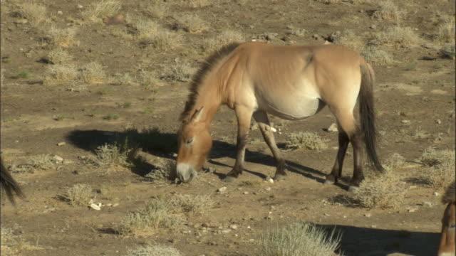 przewalski's horses graze on steppe, kalamaili nature reserve, xinjiang, china - przewalskihäst bildbanksvideor och videomaterial från bakom kulisserna