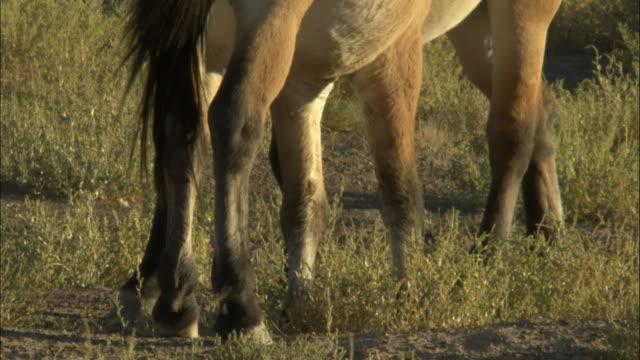 przewalski's horses groom each other, kalamaili nature reserve, xinjiang, china - przewalski stock videos & royalty-free footage