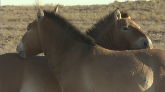przewalski's horses groom each other, kalamaili nature reserve, xinjiang, china - two animals stock videos & royalty-free footage