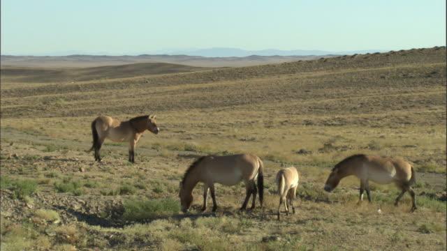 przewalski's horses, kalamaili nature reserve, xinjiang, china - przewalskihäst bildbanksvideor och videomaterial från bakom kulisserna