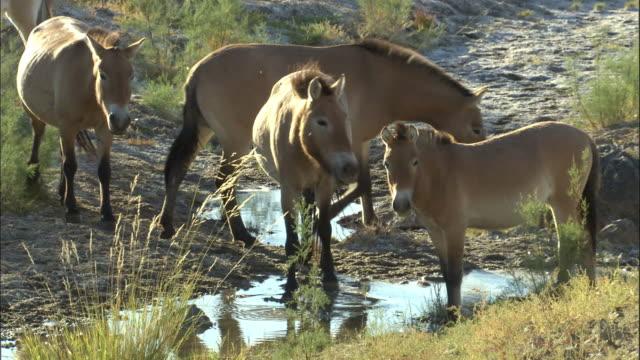przewalski's horses near water, kalamaili nature reserve, xinjiang, china - przewalskihäst bildbanksvideor och videomaterial från bakom kulisserna