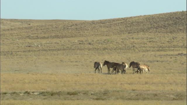 przewalski's horses on steppe, kalamaili nature reserve, xinjiang, china - przewalskihäst bildbanksvideor och videomaterial från bakom kulisserna