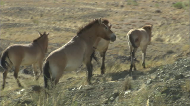przewalski's horses walk over steppe, kalamaili nature reserve, xinjiang, china - przewalskihäst bildbanksvideor och videomaterial från bakom kulisserna
