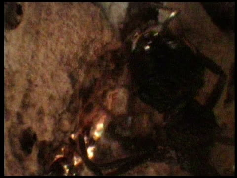 pseudoscorpions grab hold of ant's antennae and legs with their pincers costa rica - wirbelloses tier stock-videos und b-roll-filmmaterial