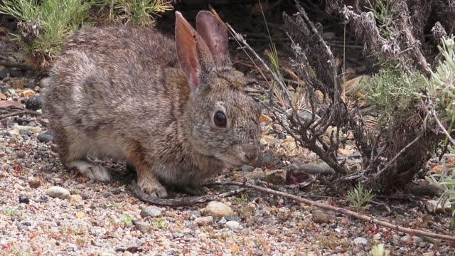 pt. lobos state park, monterey, california - cottontail stock videos & royalty-free footage