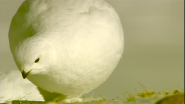a ptarmigan forages in snow in the canadian arctic. available in hd. - futter suchen stock-videos und b-roll-filmmaterial