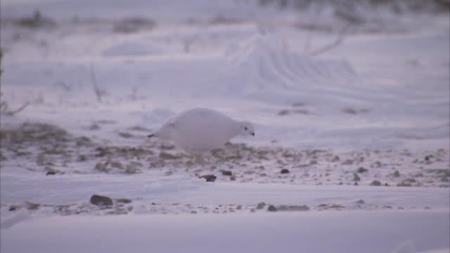 ptarmigan in snow, churchill, manitoba, canada - マニトバ州点の映像素材/bロール