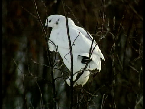 vidéos et rushes de cu ptarmigan, lagopus mutus, sitting in bare branches of tree, arctic circle - bare tree