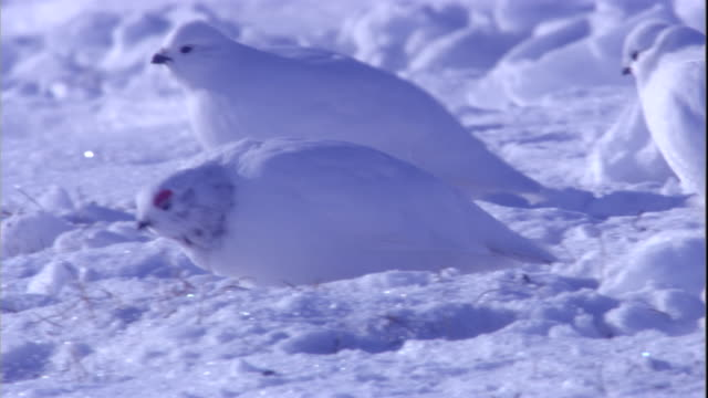 ptarmigans forage on the snowy tundra in arctic canada. available in hd. - arctic stock videos and b-roll footage