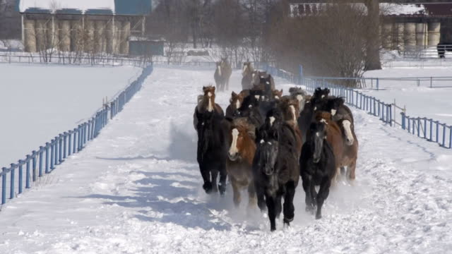 public livestock center here is conducting special training for horses to keep their fitness during the winter time, which is called horse chasing... - 家畜点の映像素材/bロール