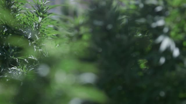 pueblo county is one of the only places in colorado that allows for commercial cannabis grows outside such as the marijuana farm los sueños farms llc... - pueblo colorado stock videos & royalty-free footage