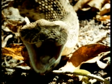 cu puff adder, bitis arietans, front view, head on leaf litter, opens mouth wide, kenya - viper stock videos & royalty-free footage