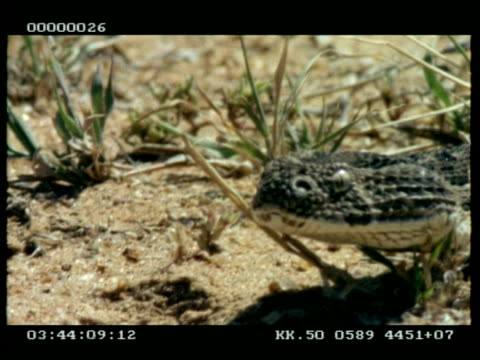 vídeos y material grabado en eventos de stock de cu puff adder snake (bitis arientans) moving past camera, flicking tongue - patrones de colores