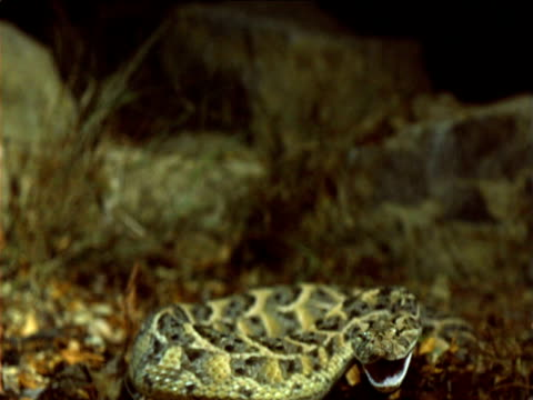 Puff adder strikes out towards camera, Africa