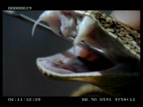 vidéos et rushes de bcu puff adder's functional fangs, secondary fangs & extension of epiglottis- displayed by keeper - serpent