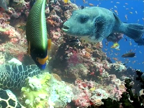 Puffer fish and Hawksbill Turtle eating sponge on reef, close up, Maldives, Asia