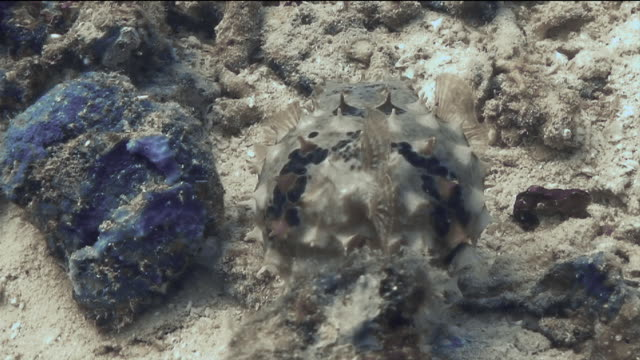 """puffer fish hovers above coral, spikes exposed"" - とげのある点の映像素材/bロール"