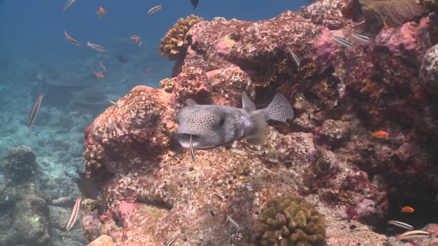 puffer fish in cleaning station, south ari atoll, the maldives - wrasse stock videos & royalty-free footage