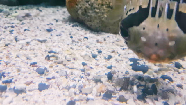 puffer fish in underwater world of deep sea animal playing with coral stone - puffer fish stock videos & royalty-free footage