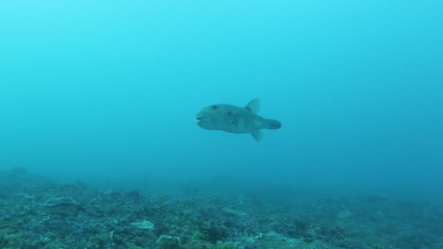 puffer fish swimming towards camera and turning camera left. - harpoon stock videos and b-roll footage