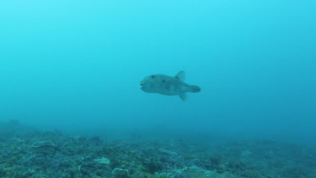 puffer fish swimming towards camera and turning camera left. - arpone video stock e b–roll