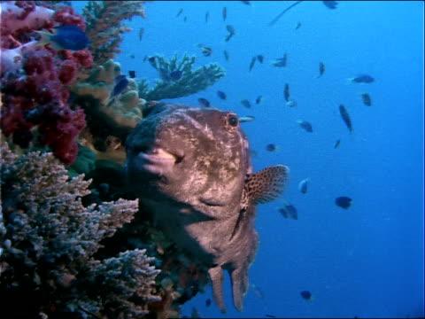 vídeos y material grabado en eventos de stock de a puffer fish swims next to a coral reef in the truk lagoon. - simbiosis
