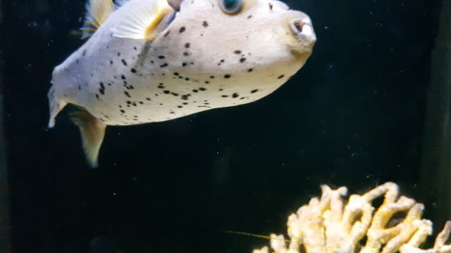 puffer fish under sea water , phuket , thailand - pacific ocean stock videos & royalty-free footage