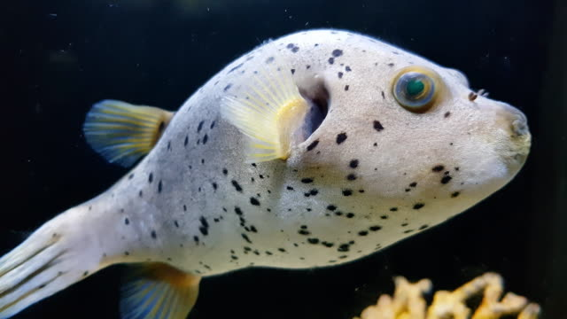 puffer fish under sea water , phuket , thailand - puffer fish stock videos & royalty-free footage