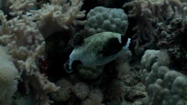 puffer fish - balloonfish stock videos and b-roll footage