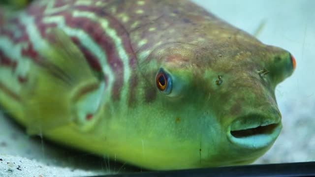 a puffer is displayed at the john g shedd aquarium on october 3 2014 in chicago illinois shedd aquarium houses 32000 animals and attracts more than 2... - shedd aquarium stock videos and b-roll footage
