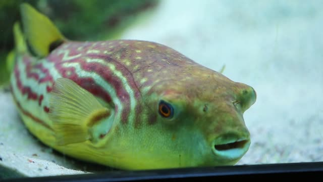 a puffer is displayed at the john g shedd aquarium on october 3 2014 in chicago illinois shedd aquarium houses 32000 animals and attracts more than 2... - animale in cattività video stock e b–roll