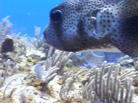 puffer porcupine fish swimming over reef - invertebrate stock videos & royalty-free footage