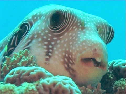 puffer sitting on reef against blue water  bcu - balloonfish stock videos and b-roll footage