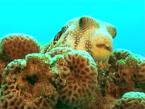 puffer sitting on reef against blue water  mcu - balloonfish stock videos and b-roll footage