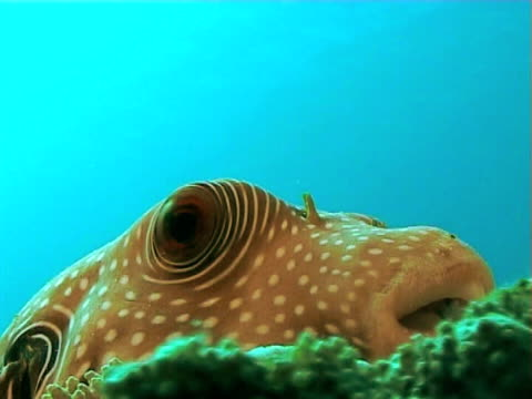 puffer sitting on reef against blue water  cu - balloonfish stock videos and b-roll footage